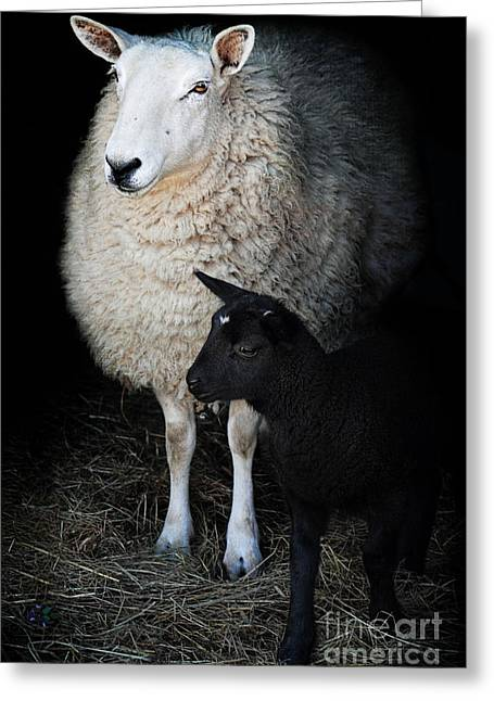 Innocence Greeting Cards - Ewe with Newborn Lamb Greeting Card by Stephanie Frey