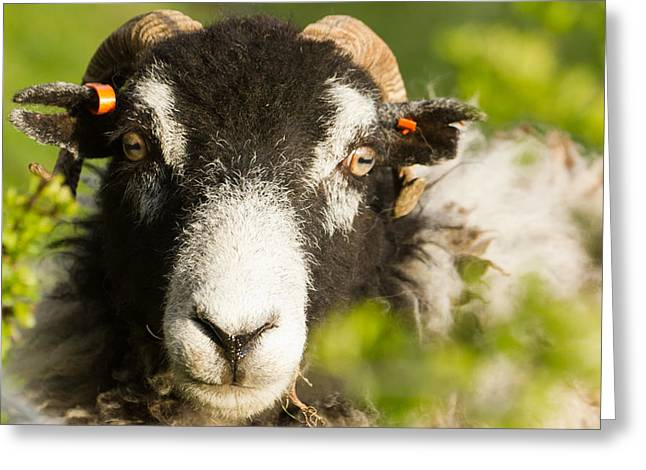 Sheep Photographs Greeting Cards - Ewe you looking at Greeting Card by Ian Hufton
