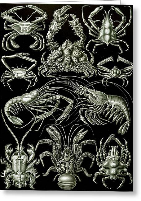 Biology Drawings Greeting Cards - Examples of Decapoda Kunstformen der Natur Greeting Card by Ernst Haeckel