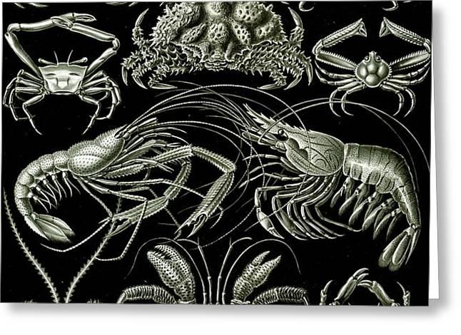 Examples of Decapoda Kunstformen der Natur Greeting Card by Ernst Haeckel