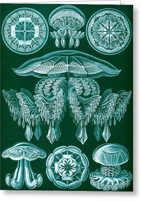 Art Lithographs Greeting Cards - Examples Of Discomedusae Greeting Card by Ernst Haeckel