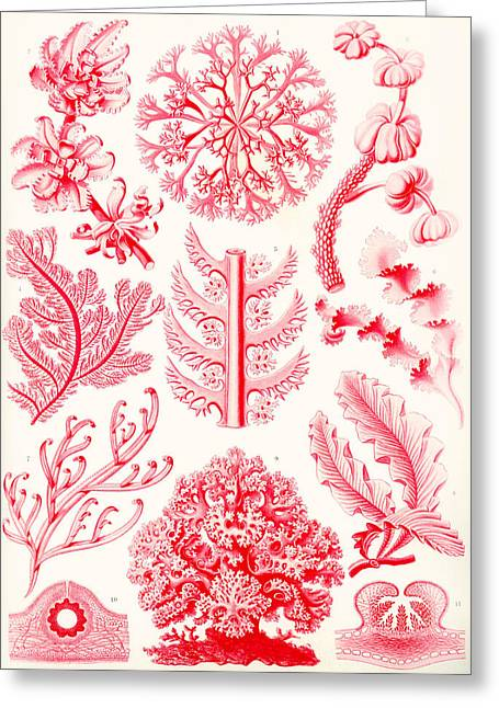 Art Lithographs Greeting Cards - Examples of Florideae from Kunstformen der Natur Greeting Card by Ernst Haeckel