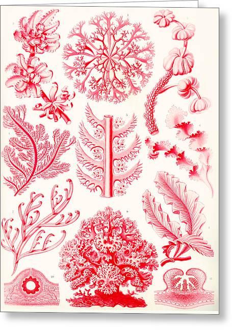 Examples Of Florideae From Kunstformen Der Natur Greeting Card by Ernst Haeckel