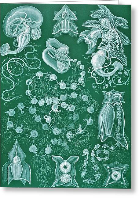 Hierarchical Greeting Cards - Examples Of Siphonophorae Greeting Card by Ernst Haeckel