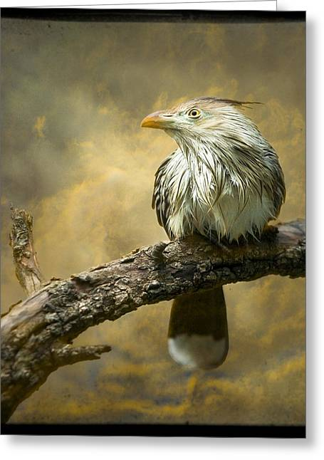 Ttv Greeting Cards - Exotic Bird - Guira Cuckoo Bird Greeting Card by Gary Heller
