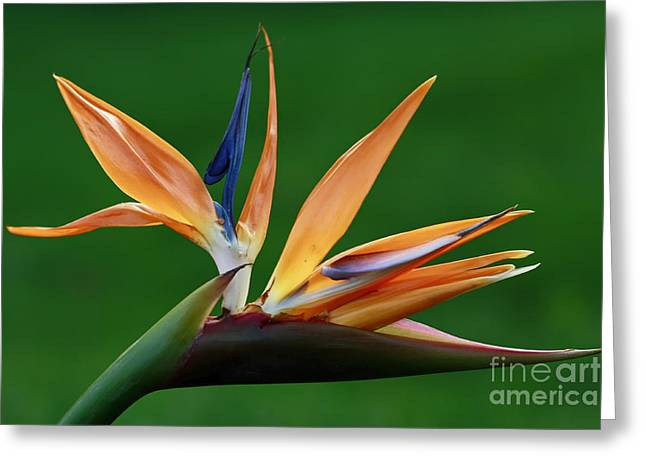 Shelley Myke Greeting Cards - Exotic Bird of Paradise Greeting Card by Inspired Nature Photography By Shelley Myke