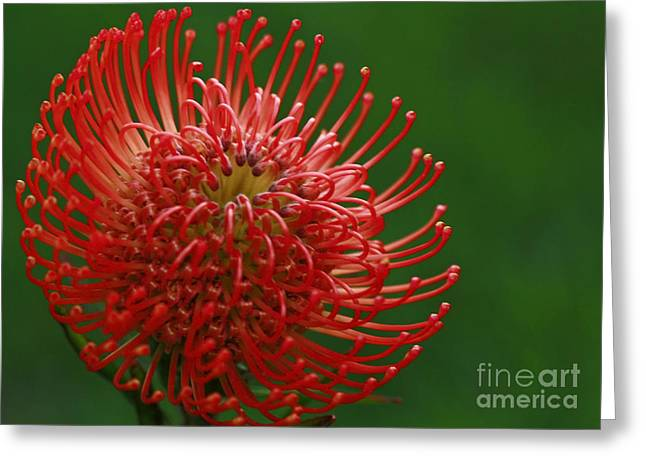 Pin Cushion Flower Greeting Cards - Exotic Pincushion Flower Greeting Card by Inspired Nature Photography By Shelley Myke