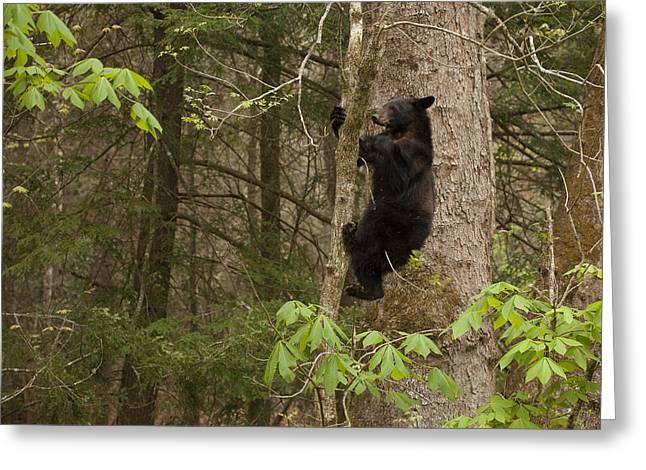 Black Bear Climbing Tree Greeting Cards - Expert Climber Greeting Card by Doug McPherson