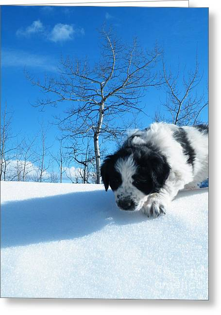 Newfoundland Puppy Greeting Cards - Exploration Greeting Card by Brian Boyle