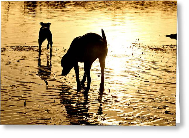 Dog Play Beach Greeting Cards - Exploring At Sunset Greeting Card by Laura  Fasulo