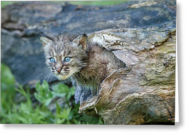 Bobcats Photographs Greeting Cards - Exploring Greeting Card by Cheryl Schneider