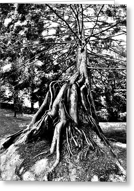 Tree Roots Greeting Cards - Exposed Greeting Card by Benjamin Yeager
