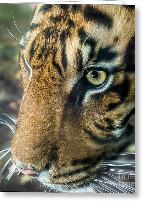 Young Tiger Greeting Cards - Eye Of The Tiger Greeting Card by Ray Warren