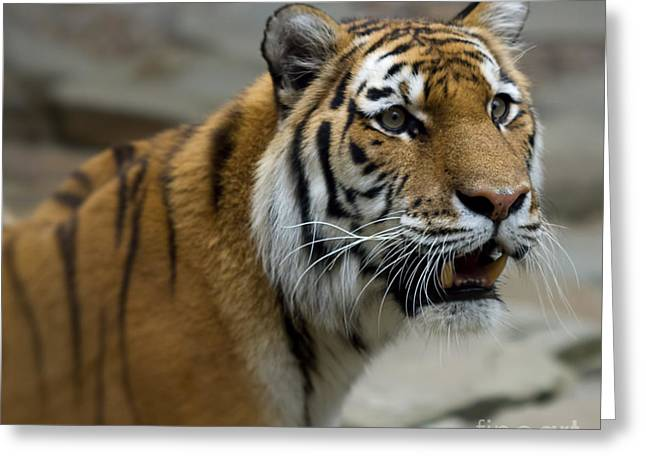 The Tiger Greeting Cards - Eye of the Tiger Greeting Card by Terry Weaver