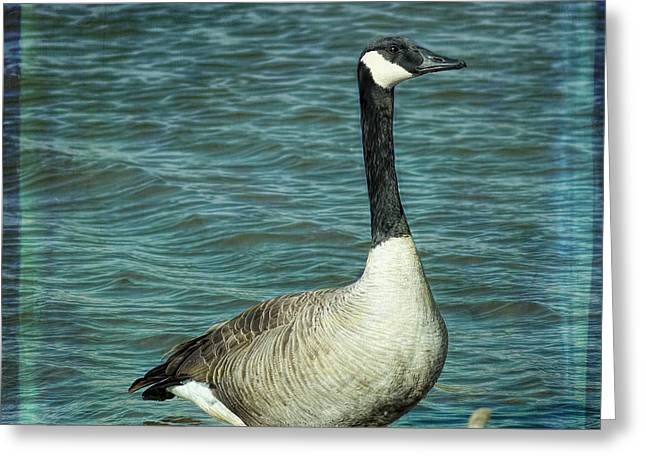 Flying Animal Mixed Media Greeting Cards - Eye To Eye Canada Goose Greeting Card by Bellesouth Studio