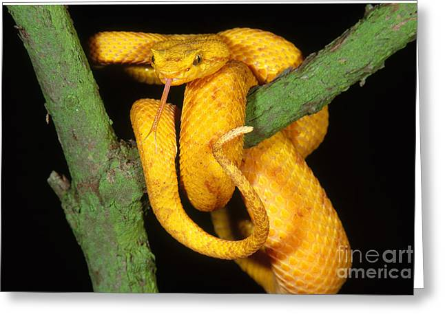 Bothriechis Greeting Cards - Eyelash Viper Greeting Card by Art Wolfe