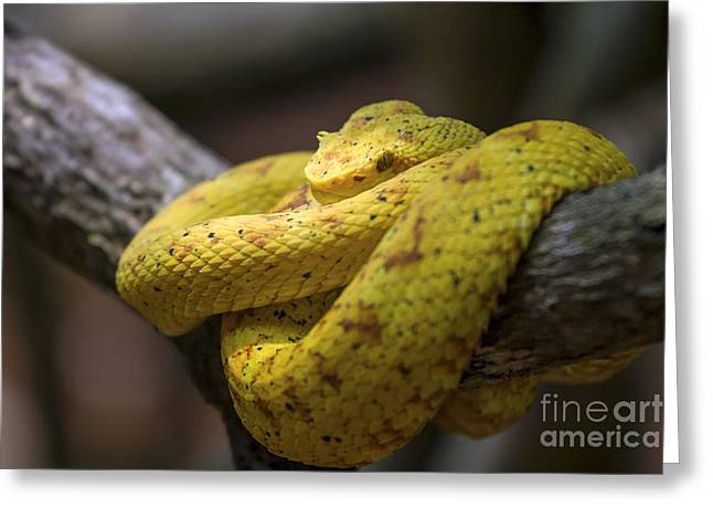 Bothriechis Greeting Cards - Eyelash viper Greeting Card by Patricia Hofmeester