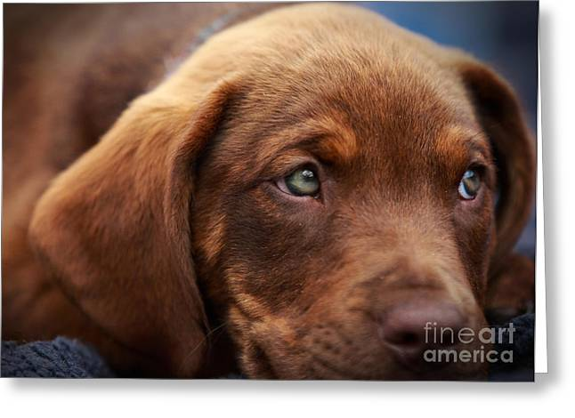 Chocolate Lab Greeting Cards - Eyes are the window to the soul Greeting Card by Mary Lou Chmura