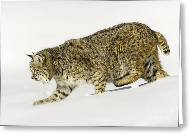 Lynx Rufus Greeting Cards - Eyes front Greeting Card by Frank Pali