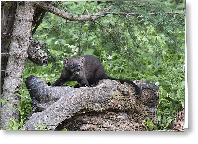Wildlife Art Acrylic Prints Greeting Cards - Eyes in the Forest Greeting Card by Sandra Bronstein