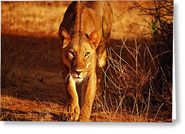 Lioness Greeting Cards - Eyes Into the Soul Greeting Card by Pamela Peters