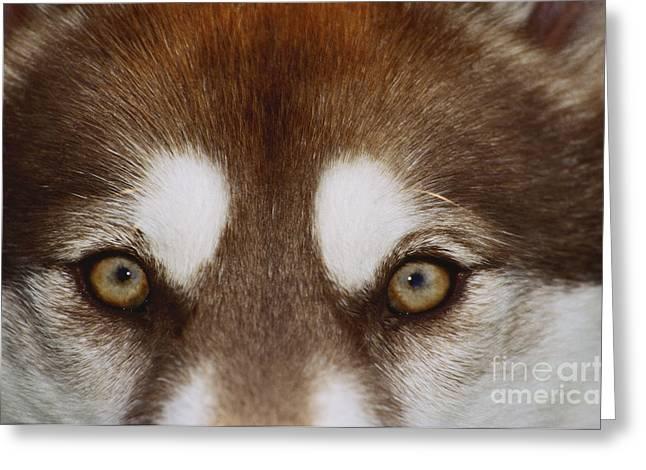 Eyes Of A Red Siberian Husky Greeting Card by Carolyn McKeone