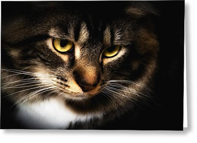 Maine Coon Greeting Cards - Eyes of Alex Greeting Card by Irma Mason