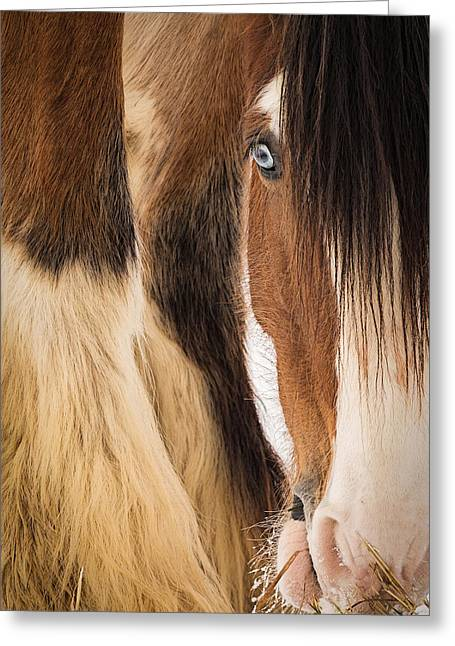 Clydesdale Greeting Cards - Eyes of Blue Greeting Card by Everet Regal