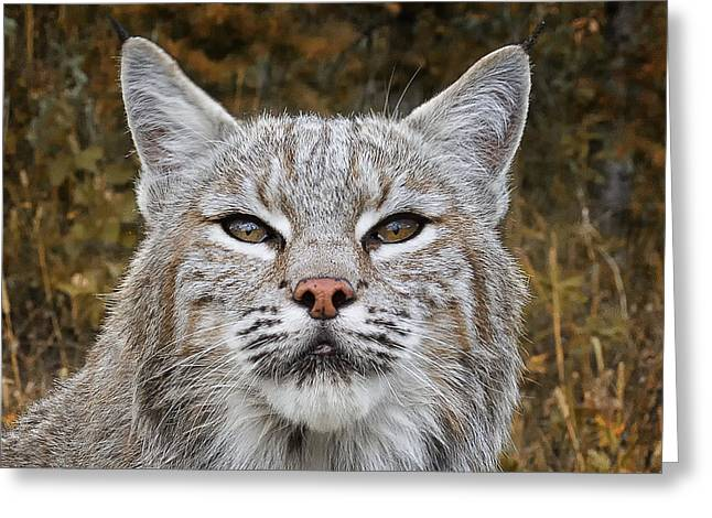 Bobcats Greeting Cards - Eyes of the Hunter Greeting Card by Elaine Haberland