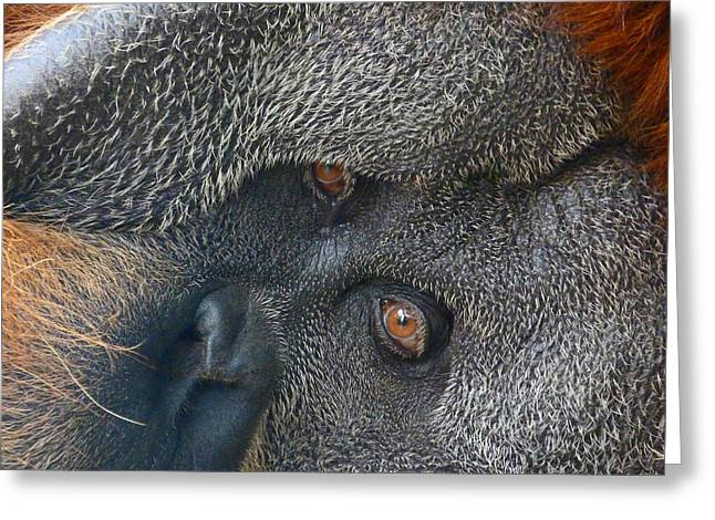 Sumatran Orang-utan Greeting Cards - Eyes Of The Sumatran Orangutan  Greeting Card by Margaret Saheed