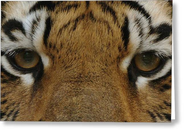 Sandy Keeton Photography Greeting Cards - Eyes of the Tiger Greeting Card by Sandy Keeton
