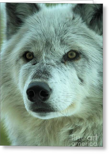 Alpha Wolf Greeting Cards - Eyes Of The Wolf Greeting Card by Adam Jewell
