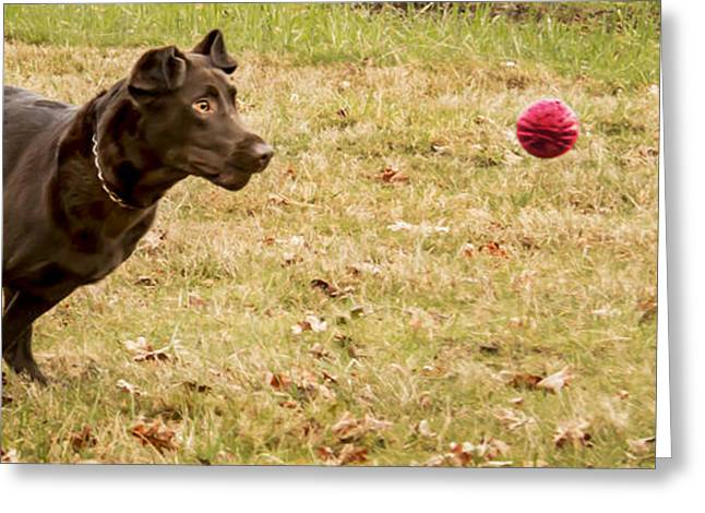Chocolate Lab Greeting Cards - Eyes on the Ball Greeting Card by Jean Noren