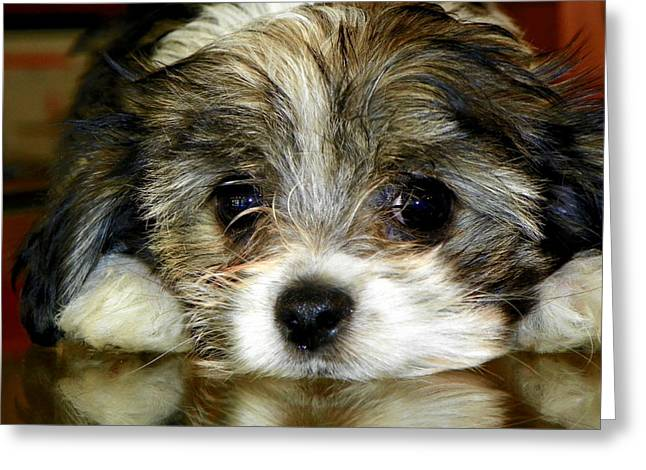 Dog Photographs Greeting Cards - Eyes on You Greeting Card by Karen Wiles