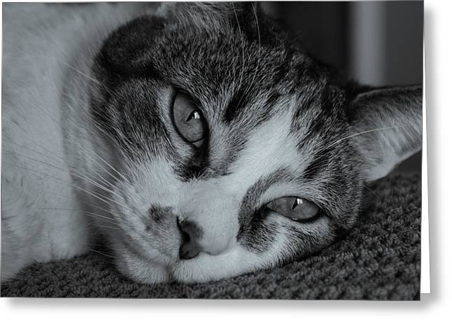 Pictures Of Cats Greeting Cards - Eyes Greeting Card by Raymond Collins