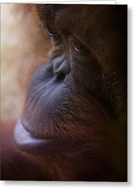 Orangutans Greeting Cards - Eyes Greeting Card by Shane Holsclaw