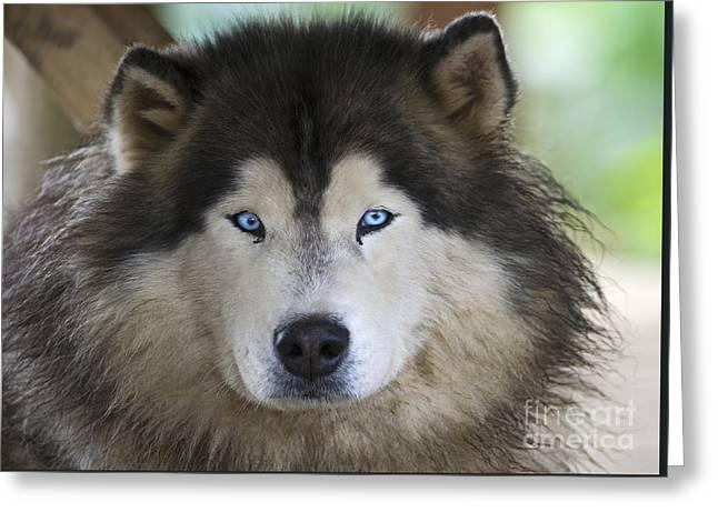 Guard Dog Greeting Cards - Eyes So Blue... Greeting Card by Nina Stavlund