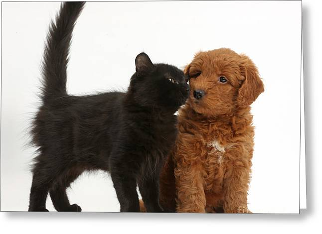 Goldendoodle Greeting Cards - F1b Goldendoodle Pup With Kitten Greeting Card by Mark Taylor