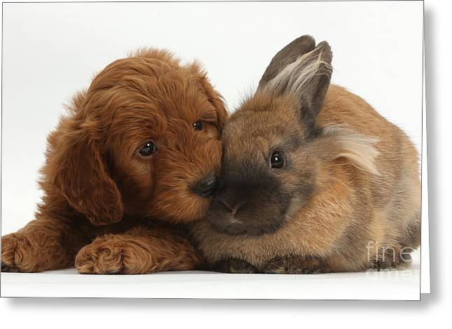 Goldendoodle Greeting Cards - F1b Goldendoodle Puppy And Rabbit Greeting Card by Mark Taylor