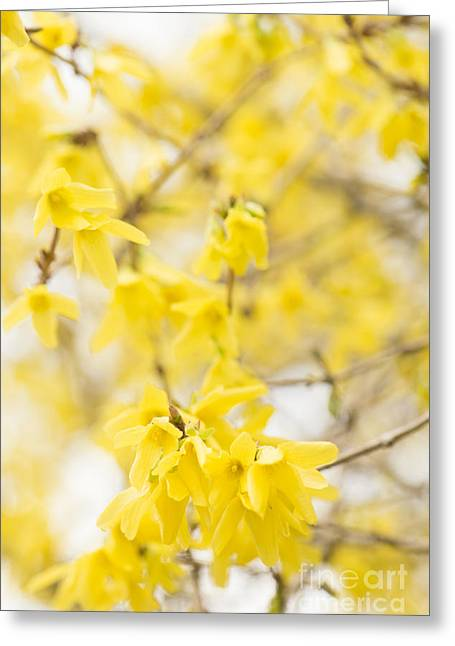 March Greeting Cards - Fabulous Forsythia Greeting Card by Anne Gilbert