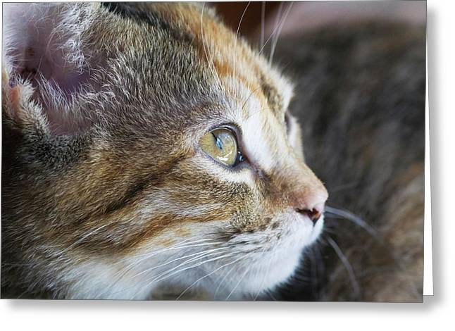 Face Of Domestic Shorthaired Greeting Card by Piperanne Worcester