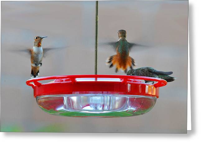 Migrating Hummingbird Greeting Cards - Face Off Greeting Card by Lynn Bauer
