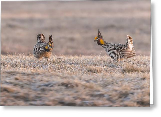 Prairie Chickens Greeting Cards - Face Off Greeting Card by Thomas Young