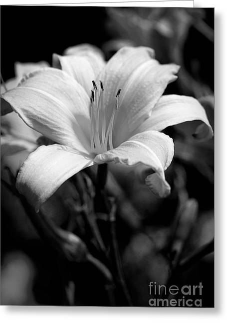 Sunlight On Flowers Greeting Cards - Face the Sun in Black and White Greeting Card by Lee Craig