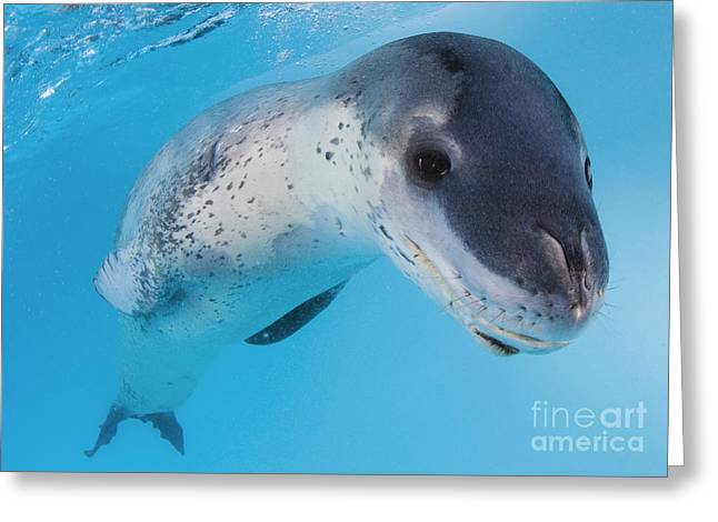 Undersea Photography Greeting Cards - Facial View Of A Leopard Seal Greeting Card by Steve Jones