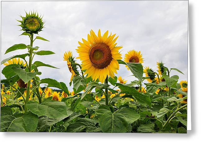 Sunflower Patch Greeting Cards - Facing the Sun Greeting Card by Eryn Carter