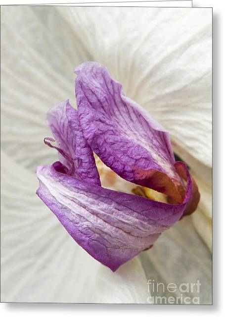 Close Focus Floral Greeting Cards - Faded Beauty Greeting Card by Anne Gilbert