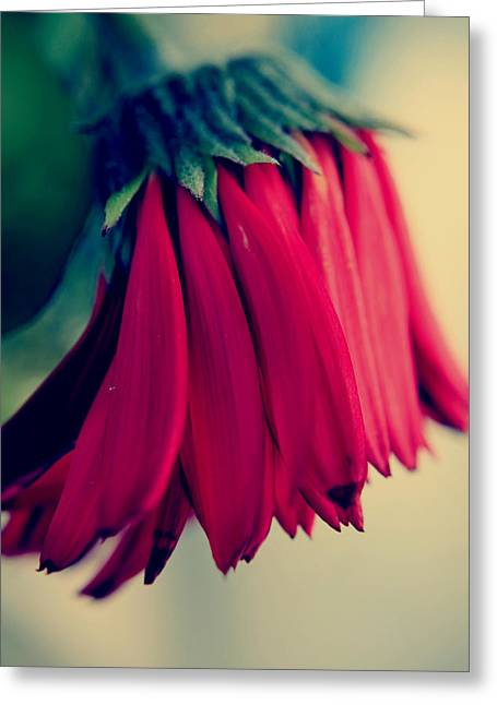 Fading Passion Greeting Card by Laurie Search