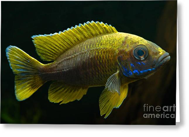 Fresh Water Fish Greeting Cards - Fairy Cichlid Greeting Card by Frank Teigler