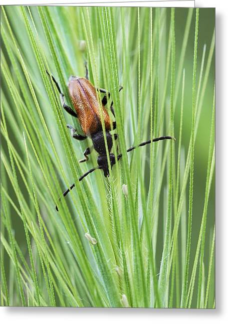 Ear Rings Greeting Cards - Fairy-ring longhorn beetle Greeting Card by Science Photo Library
